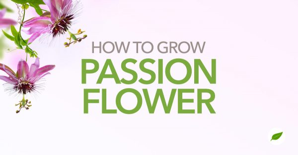 growing-passion-flower