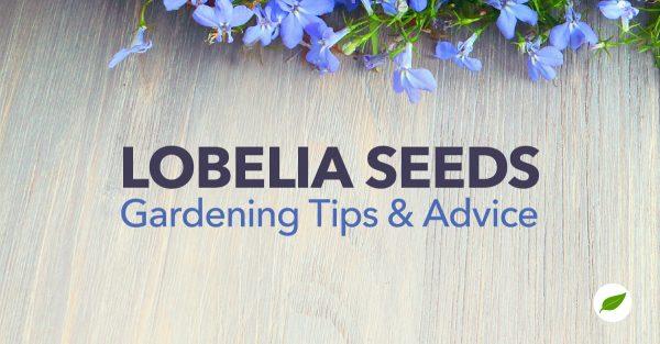Lobelia-Seeds