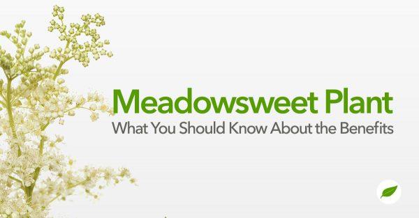 meadowsweet plant