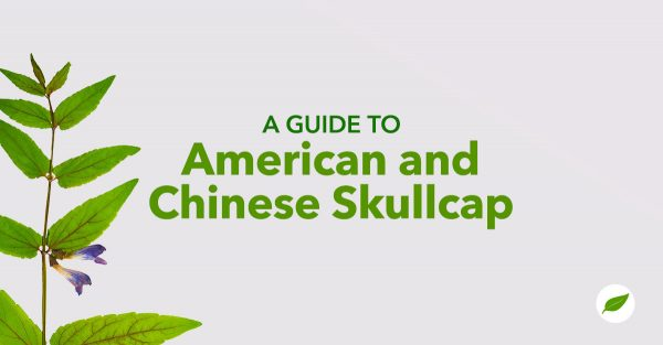 American-Chinese-Skullcap-herb-