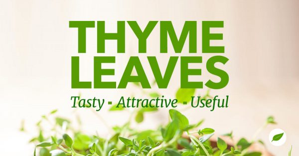 Thyme-Leaves-Tasty-Attractive-Useful