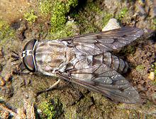 horsefly or deer fly