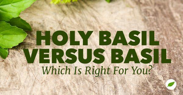 holy basil vs. basil