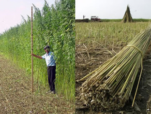 industrial hemp for making hemp products