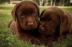 poop-eating-puppies